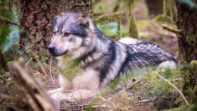 Cái chết cô độc của Takaya: Con sói dị nhất thế giới và lời tiên tri cảnh tỉnh loài người - Ảnh 7.