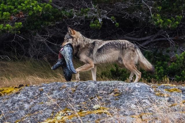 Cái chết cô độc của Takaya: Con sói dị nhất thế giới và lời tiên tri cảnh tỉnh loài người - Ảnh 8.