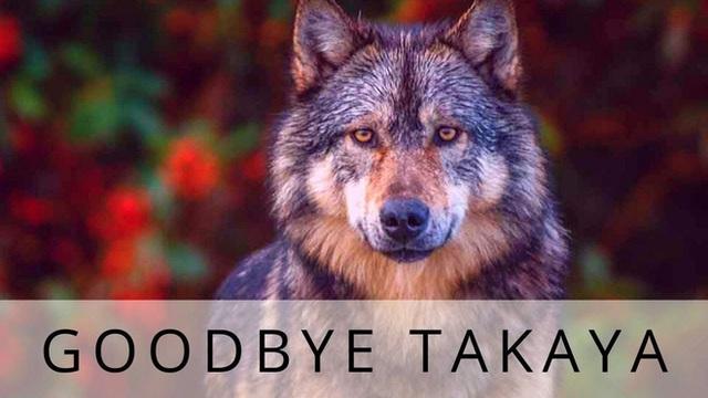 Cái chết cô độc của Takaya: Con sói dị nhất thế giới và lời tiên tri cảnh tỉnh loài người - Ảnh 9.