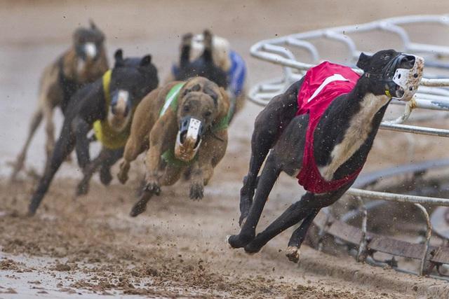 Kỷ nguyên đua chó săn tại Mỹ sắp kết thúc: Hàng ngàn chú chó bị ngược đãi, bị bỏ rơi sau nhiều năm phục vụ thú vui giải trí của con người - Ảnh 1.