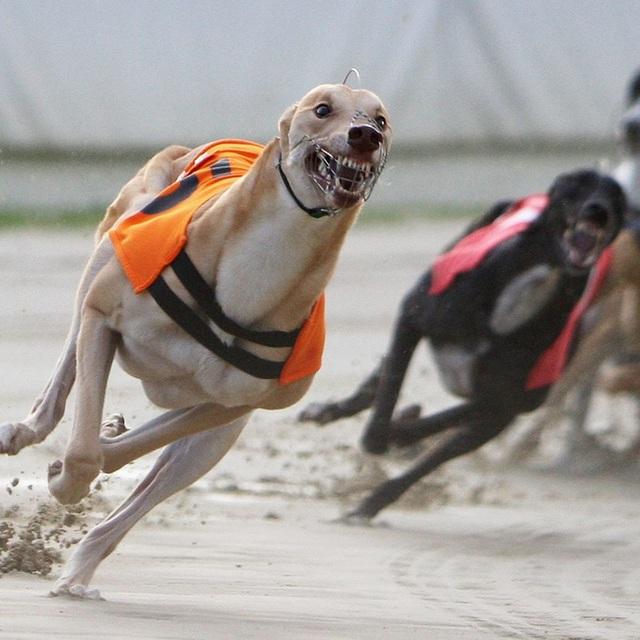 Kỷ nguyên đua chó săn tại Mỹ sắp kết thúc: Hàng ngàn chú chó bị ngược đãi, bị bỏ rơi sau nhiều năm phục vụ thú vui giải trí của con người - Ảnh 2.