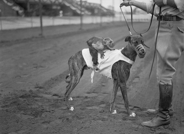 Kỷ nguyên đua chó săn tại Mỹ sắp kết thúc: Hàng ngàn chú chó bị ngược đãi, bị bỏ rơi sau nhiều năm phục vụ thú vui giải trí của con người - Ảnh 4.