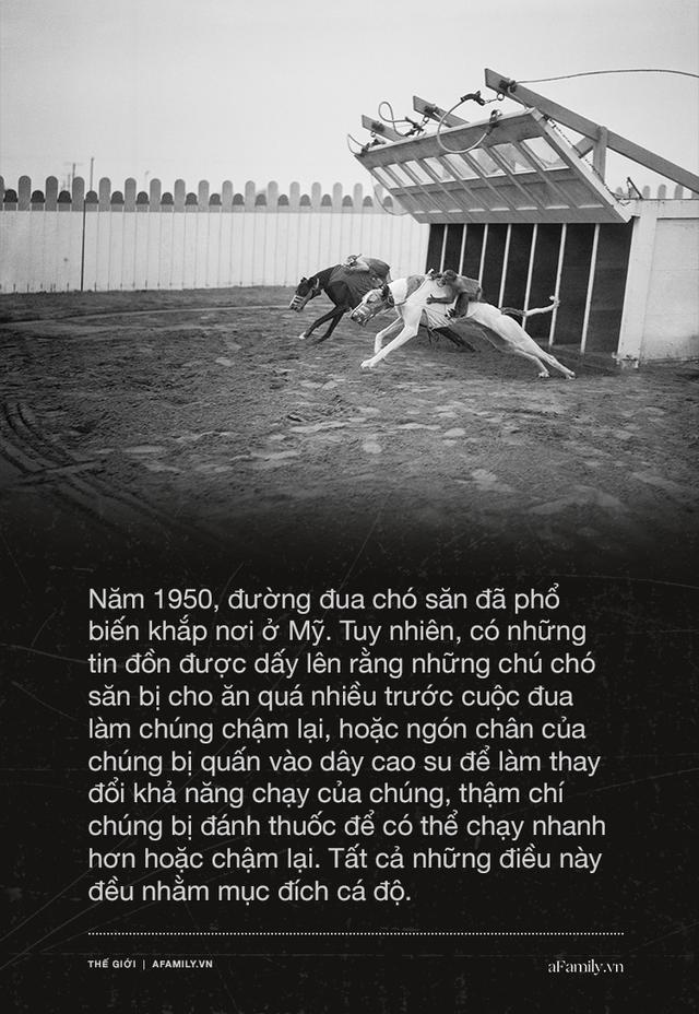 Kỷ nguyên đua chó săn tại Mỹ sắp kết thúc: Hàng ngàn chú chó bị ngược đãi, bị bỏ rơi sau nhiều năm phục vụ thú vui giải trí của con người - Ảnh 5.
