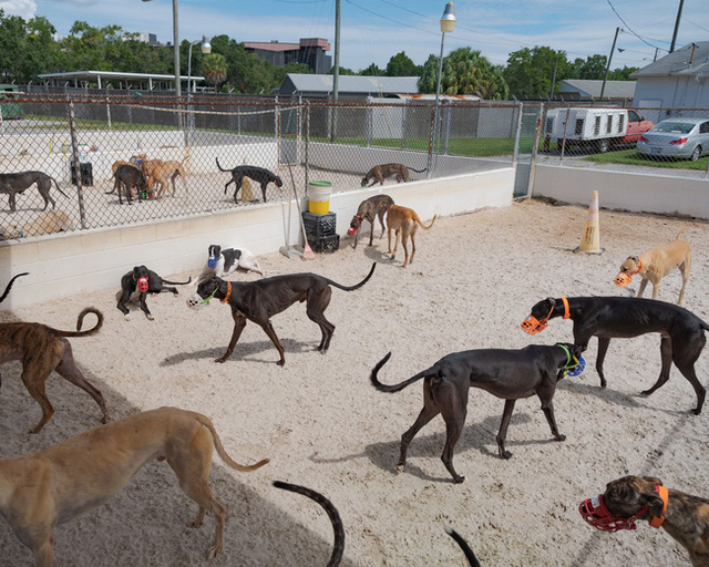 Kỷ nguyên đua chó săn tại Mỹ sắp kết thúc: Hàng ngàn chú chó bị ngược đãi, bị bỏ rơi sau nhiều năm phục vụ thú vui giải trí của con người - Ảnh 6.