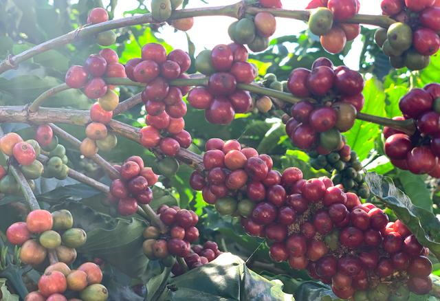 Nestle đang mua tới gần 30% lượng cà phê của Việt Nam - Ảnh 1.