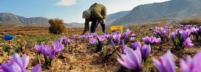Nhà giàu Việt săn lùng nhụy hoa giá 450 triệu đồng/kg, chuyên gia chỉ rõ: Sẵn trong các thuốc rẻ tiền dễ kiếm! - Ảnh 2.