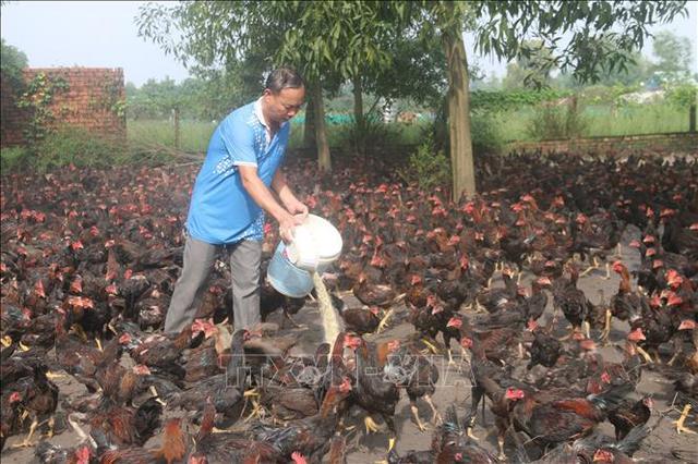 Người nuôi gà phục vụ thị trường Tết lo lắng khi giá giảm sâu - Ảnh 1.