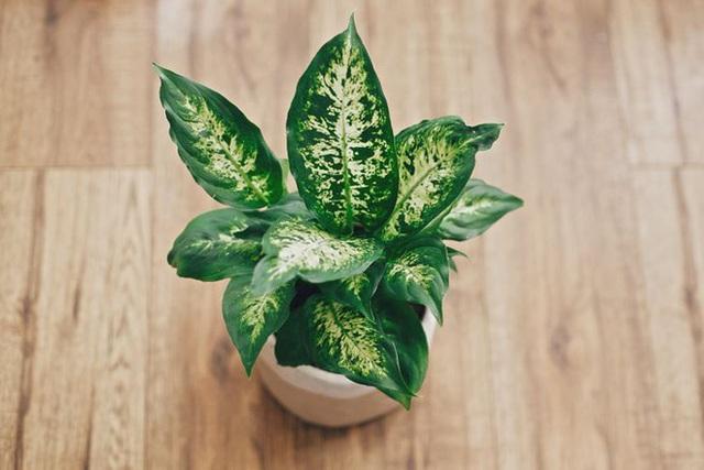 10 loại cây trồng trong nhà có thể gây ảnh hưởng xấu đến sức khỏe của bạn - Ảnh 1.