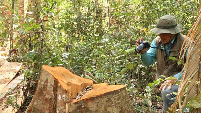 Clip: Kinh hoàng lâm tặc phá nát rừng bạch tùng hàng trăm năm tuổi ở Lâm Đồng  - Ảnh 1.