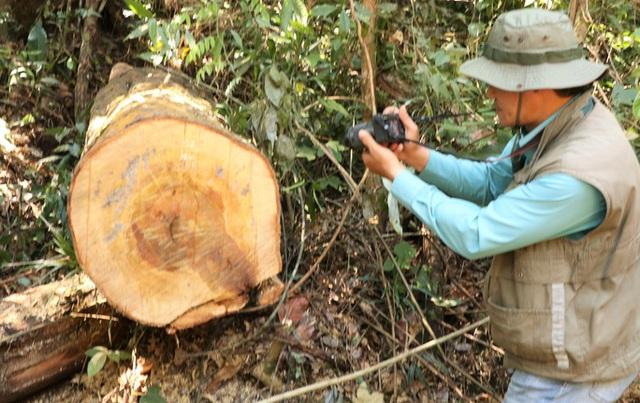 Clip: Kinh hoàng lâm tặc phá nát rừng bạch tùng hàng trăm năm tuổi ở Lâm Đồng  - Ảnh 5.