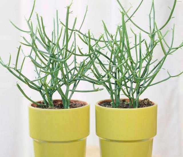 10 loại cây trồng trong nhà có thể gây ảnh hưởng xấu đến sức khỏe của bạn - Ảnh 7.