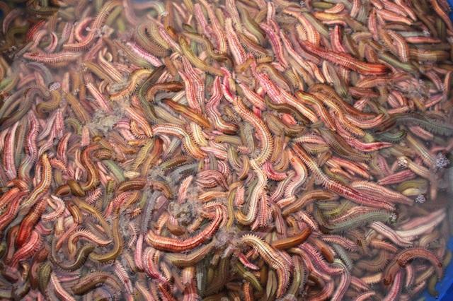 Không đơn giản là món ăn ngon, rồng đất còn được tận dụng làm thuốc chữa bệnh - Ảnh 1.