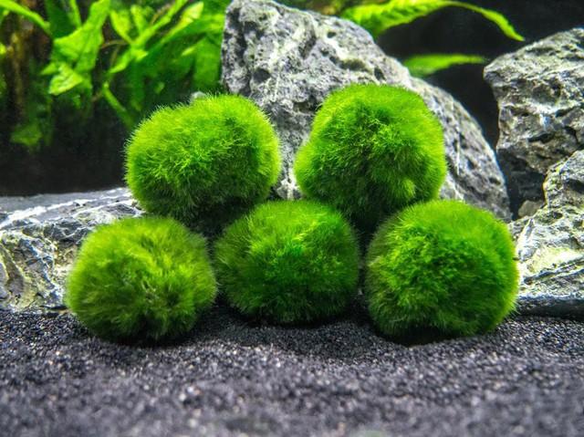 Ngoài kiếm, vải và gương, ít ai biết thứ tảo kỳ lạ này cũng được người Nhật tôn sùng như báu vật - Ảnh 1.