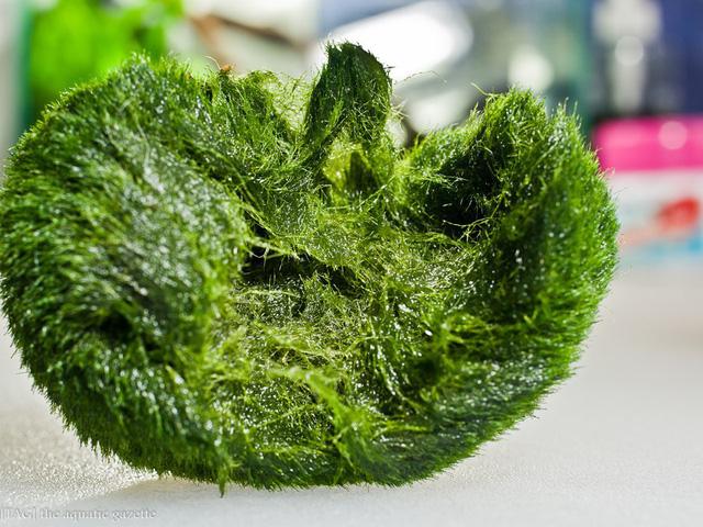 Ngoài kiếm, vải và gương, ít ai biết thứ tảo kỳ lạ này cũng được người Nhật tôn sùng như báu vật - Ảnh 2.