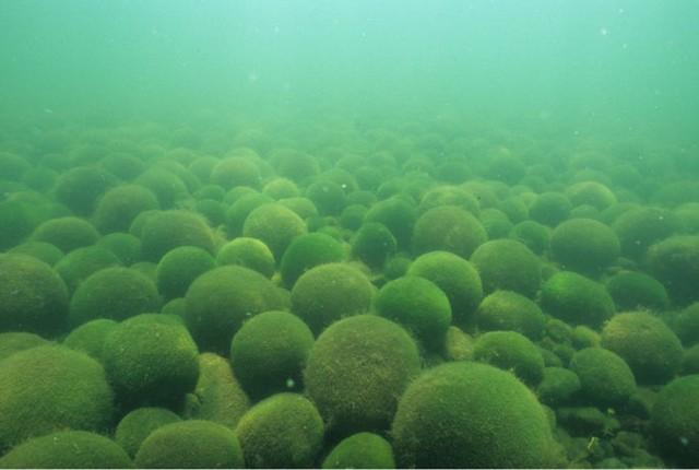 Ngoài kiếm, vải và gương, ít ai biết thứ tảo kỳ lạ này cũng được người Nhật tôn sùng như báu vật - Ảnh 3.