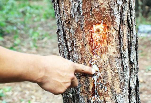 Xác định thủ phạm phá rừng phòng hộ ven đường Đà Lạt-Nha Trang - Ảnh 1.