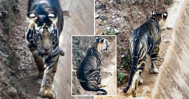 Giải mã bí ẩn hổ quỷ siêu hiếm ở Ấn Độ: Cả thế giới chỉ có 8 con! - Ảnh 3.