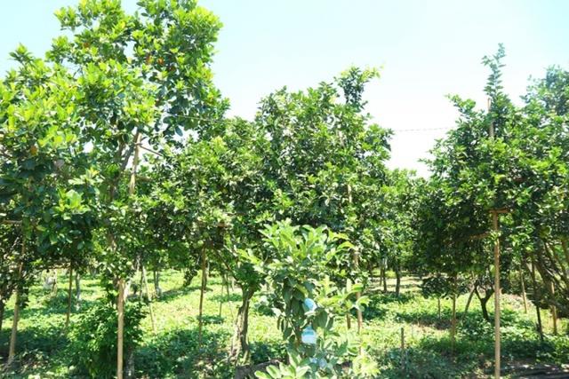 Nông dân thoát nghèo nhờ vườn cây chuyên canh  - Ảnh 4.