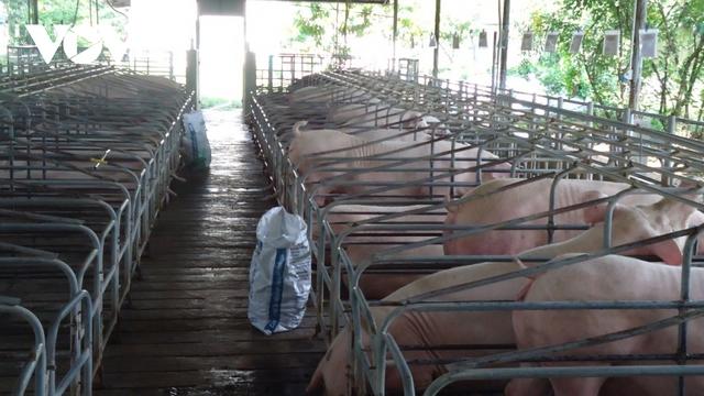 Tái đàn chậm, nguy cơ nguồn cung thịt lợn sẽ giảm dịp Tết  - Ảnh 1.