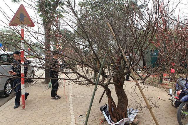 Thủ tướng nghiêm cấm chặt đào rừng chơi Tết - Ảnh 2.