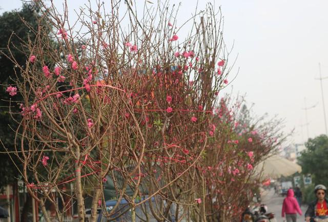Đào Nhật Tân nở sớm, tràn ngập chợ hoa đón Tết Dương lịch - Ảnh 1.