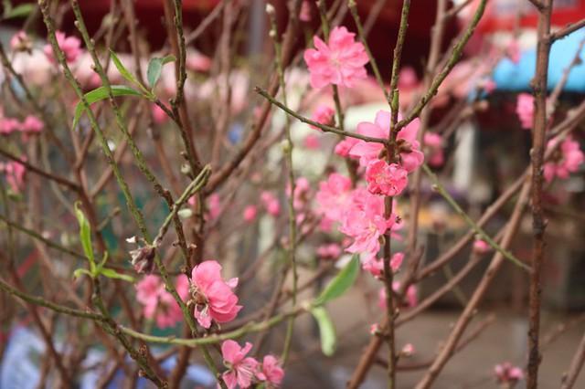 Đào Nhật Tân nở sớm, tràn ngập chợ hoa đón Tết Dương lịch - Ảnh 5.