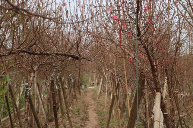 Đào Nhật Tân nở sớm, tràn ngập chợ hoa đón Tết Dương lịch - Ảnh 7.