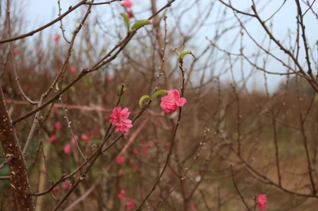 Đào Nhật Tân nở sớm, tràn ngập chợ hoa đón Tết Dương lịch - Ảnh 8.