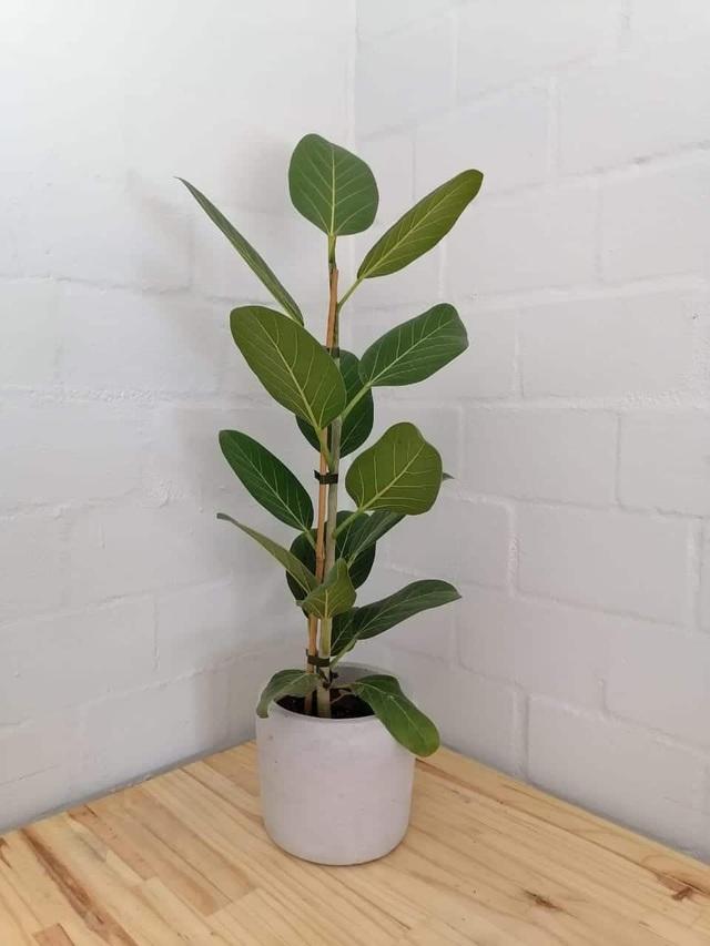 Trang hoàng nhà cửa bằng 7 loại cây xanh này vừa giúp thanh lọc không khí vừa đem tới không gian tươi xanh, hút phúc khí cho gia đình - Ảnh 2.