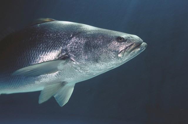 Đây mới là công dụng thực sự của bong bóng cá, xóa bỏ hiểu nhầm phổ biến hơn 300 năm qua - Ảnh 8.
