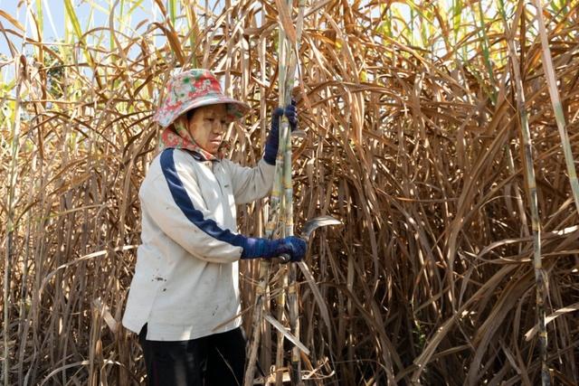 Thái Lan đang làm gì để bảo hộ ngành mía đường? - Ảnh 1.