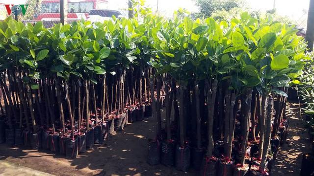 Sau hạn mặn, giá cây giống ở Tiền Giang tăng chóng mặt - Ảnh 1.