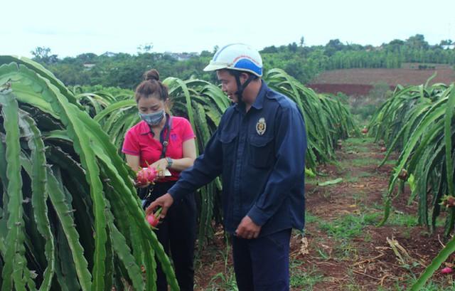 Nông dân Đắk Lắk điêu đứng vì thanh long rớt giá còn 2.000 đồng/kg - Ảnh 3.