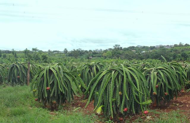 Nông dân Đắk Lắk điêu đứng vì thanh long rớt giá còn 2.000 đồng/kg - Ảnh 4.