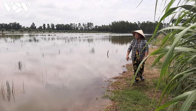Nông dân Cà Mau nguy cơ trắng tay do đất lúa nhiễm mặn - Ảnh 1.