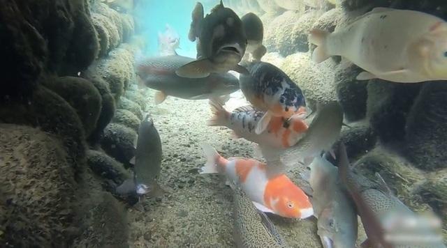 Chứng minh độ sạch của cống rãnh, Nhật Bản nuôi cá Koi thành từng đàn dưới làn nước cống trong vắt - Ảnh 1.