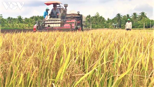 Lúa gạo tăng giá, doanh nghiệp và nông dân ĐBSCL phấn khởi. - Ảnh 1.