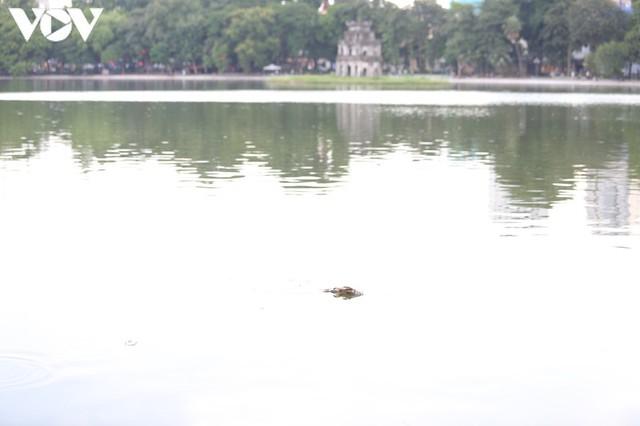 Làm xong kè, Hồ Gươm xuất hiện cá chết  - Ảnh 1.