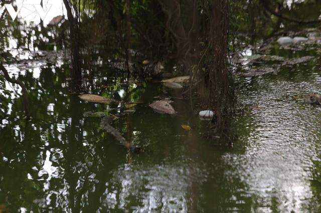 Làm xong kè, Hồ Gươm xuất hiện cá chết  - Ảnh 2.
