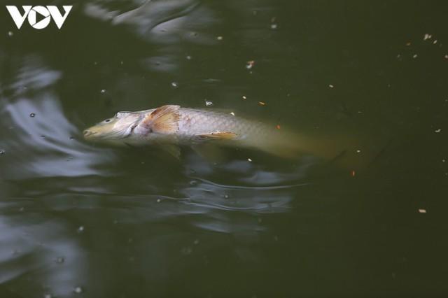 Làm xong kè, Hồ Gươm xuất hiện cá chết  - Ảnh 6.