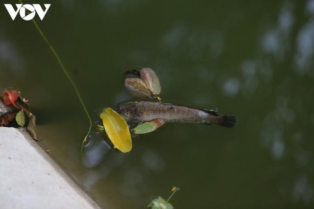 Làm xong kè, Hồ Gươm xuất hiện cá chết  - Ảnh 10.