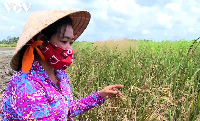 """Nông dân Trà Vinh """"hụt"""" thu vì lỡ nhận đặt cọc trước vụ lúa Hè thu - Ảnh 2."""