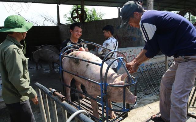 Giá lợn hơi lao dốc mạnh, người chăn nuôi vừa tái đàn đã thua lỗ nặng - Ảnh 1.