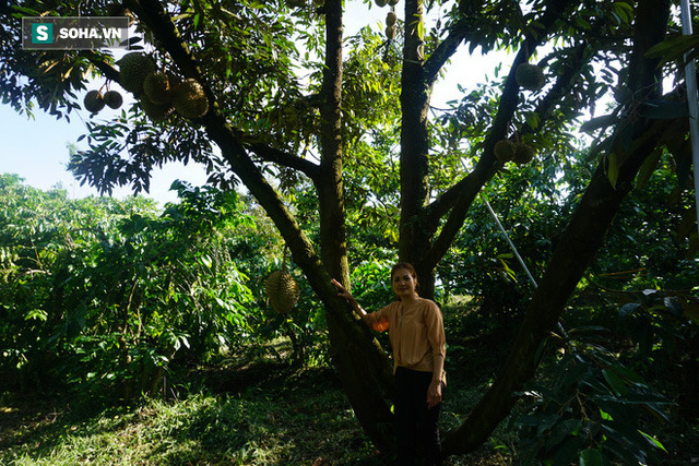Từ Điên mà trồng sầu đến những vườn sầu riêng thu về hàng trăm triệu mỗi năm - Ảnh 2.