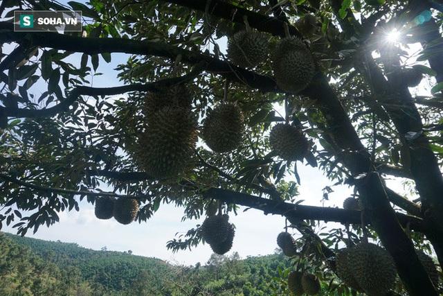 Từ Điên mà trồng sầu đến những vườn sầu riêng thu về hàng trăm triệu mỗi năm - Ảnh 3.