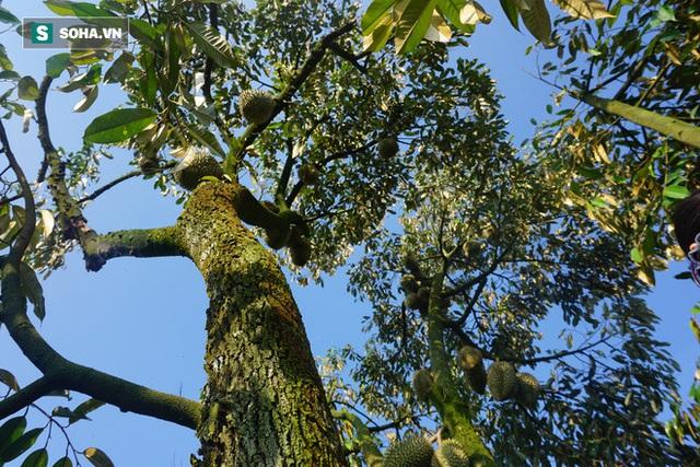 Từ Điên mà trồng sầu đến những vườn sầu riêng thu về hàng trăm triệu mỗi năm - Ảnh 4.