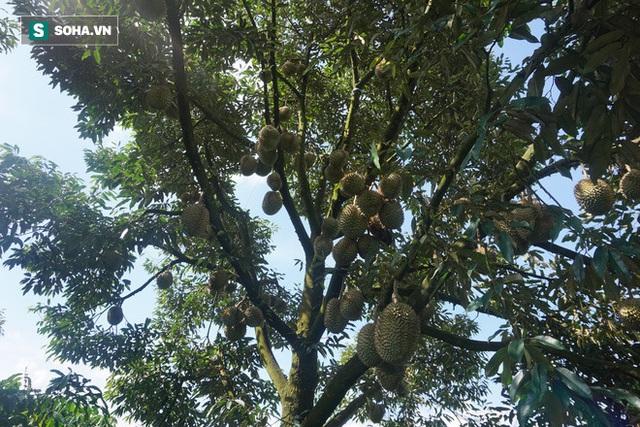 Từ Điên mà trồng sầu đến những vườn sầu riêng thu về hàng trăm triệu mỗi năm - Ảnh 5.