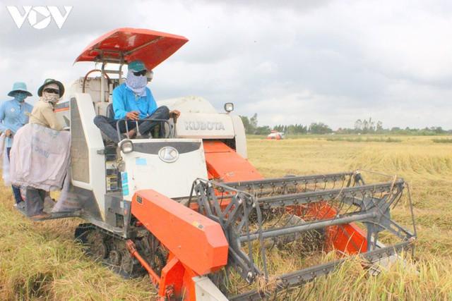 Giá lúa cao nhất trong nhiều năm trở lại đây - Ảnh 1.