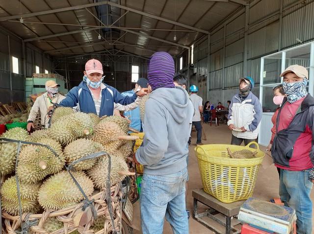 Áp thuế thu mua sầu riêng ở Đắk Lắk, Tổng Cục thuế lên tiếng - Ảnh 1.