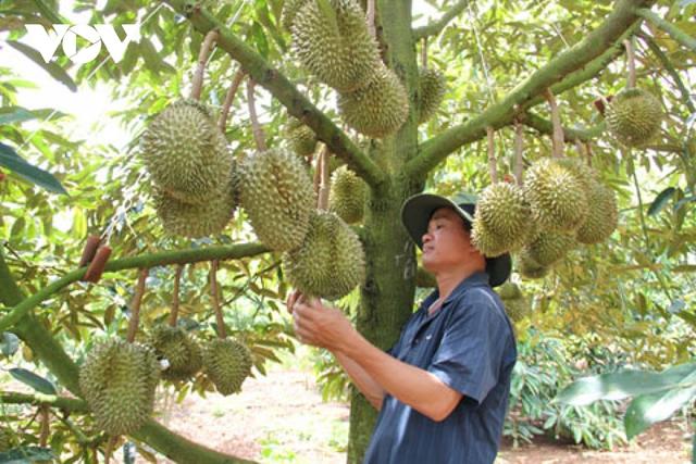 Đắk Lắk có 6 loại cây ăn quả được cấp mã số vùng trồng  - Ảnh 1.
